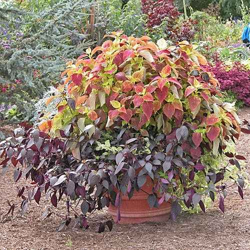 Fall Plants - top 7 plants for Fall containers