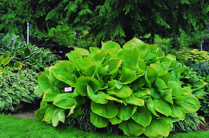 """""""Sum and Substance"""" - 2004's Hosta of the Year. This giant hosta averages 3 feet high by 5 feet wide. (The record width for """"Sum and Substance"""" is 9.5 feet wide!)"""