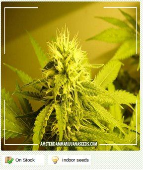 jamaican red hair weed - photo #11