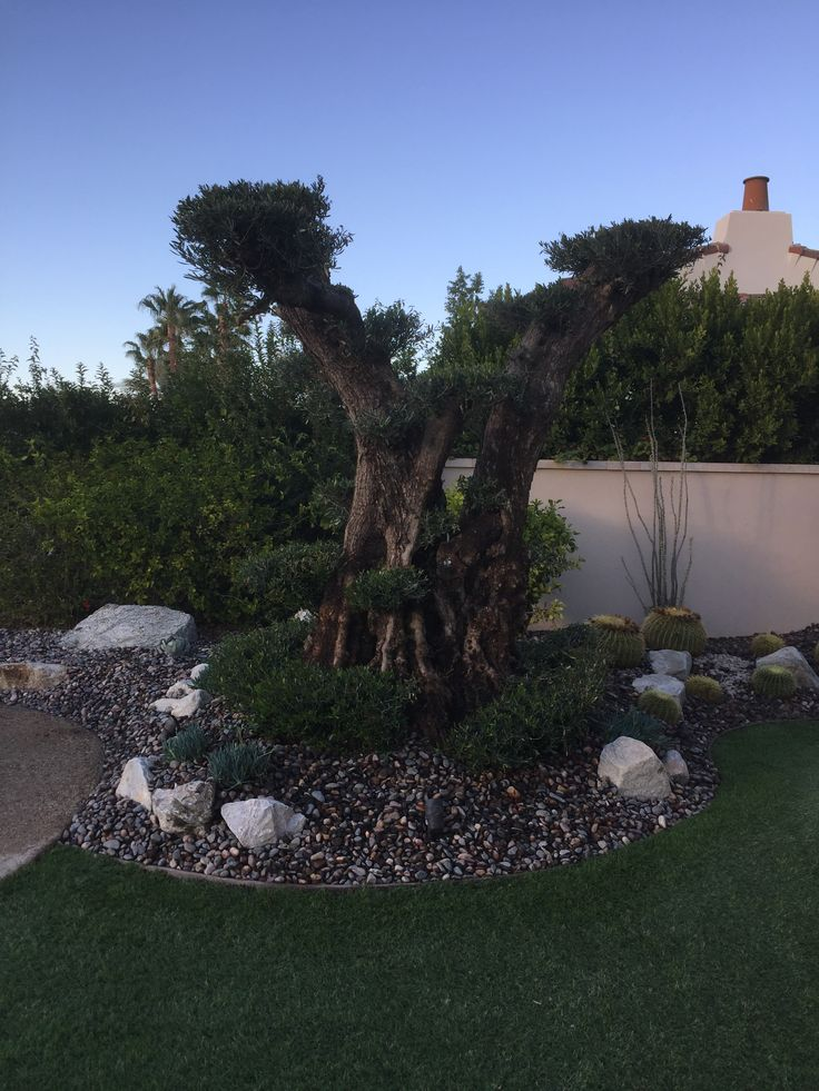 50 Best Olive A Dream Trees Ancient Olive Trees 100 Year Old Sculpted Olive Trees Bonsai