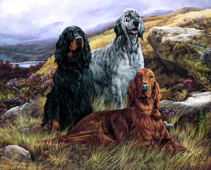 Gordon Setter, English Setter and Irish Setter. Beauty, brains and bird-sense