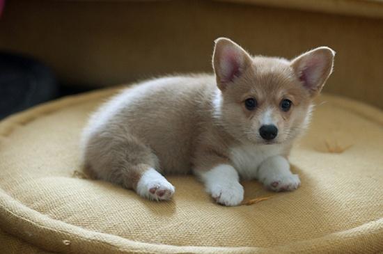 ♥ Corgi pup