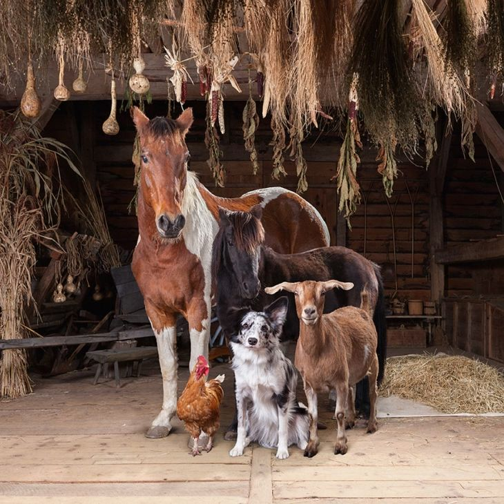 Często piszemy o inspirujących zdjęciach psów, kotów czy fotografiach dzikiej natury. Tymczasem nowy cykl Roba McInnisa  dowodzi, że świetnym tematem do zdjęć mogąbyć także... zwierzęta hodowlane. Fotograf uchwycił je w niesamowicie majestatycznych, ale także  wesołych portretach, które poruszą wasze serca. I może zainspirują do robienia zdjęć na polskiej wsi.