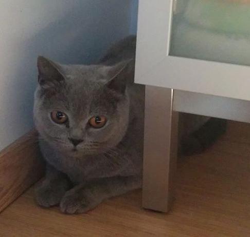 #gevonden #kattin op 1 oktober in opvang gekomen. Ze zwierf al gedurende enkele weken met haar kittens rond in #Kaggevinne. is gechipt, maar de chip is niet geregistreerd. Van de eventuele eigenaar verwachtenwe dat hij/zij zich voor 16 oktober meldt met bewijs van identificatie van de kat (chipnummer), dierenartsboekje en een verantwoording van de feiten.