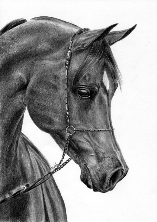 Koń arabski rysunek ołówek