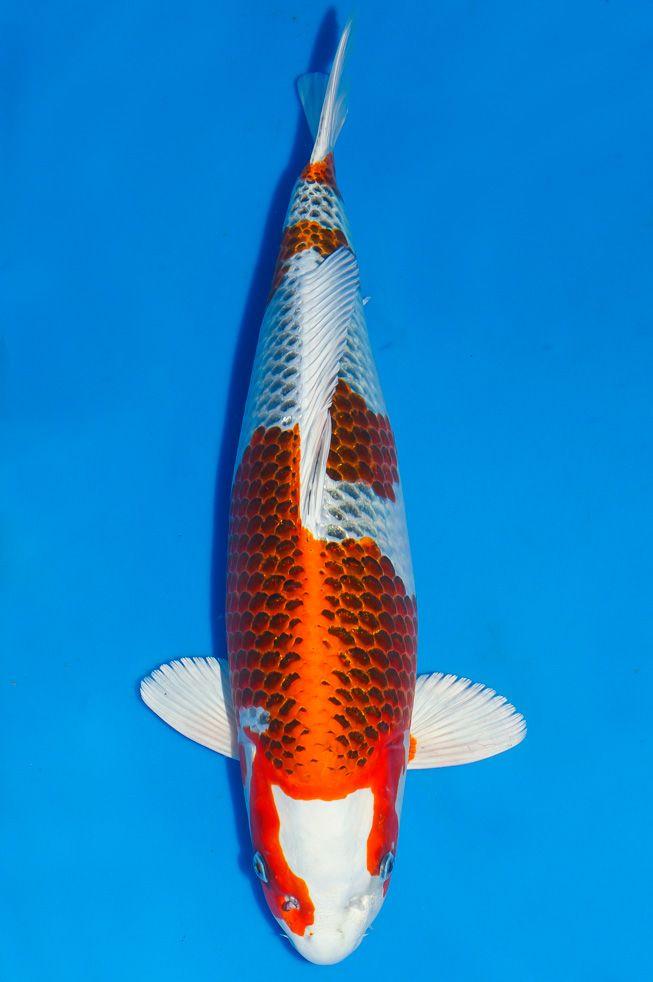 Les 1096 meilleures images du tableau ko fish sur for Poisson rouge koi aquarium