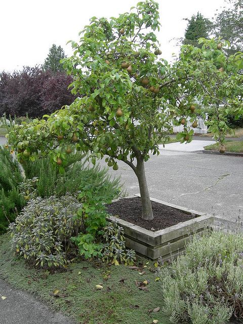 Landscaping With Pear Trees : Pear tree in planter box landscaping