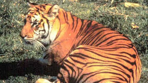 Javan Tiger- One hundred years ago there were eight subspecies of tiger. The Bali, Javan and Caspian tigers are now extinct while the Siberian, Bengal, Sumatran, Indo-Chinese and South China tigers are all critically endangered.