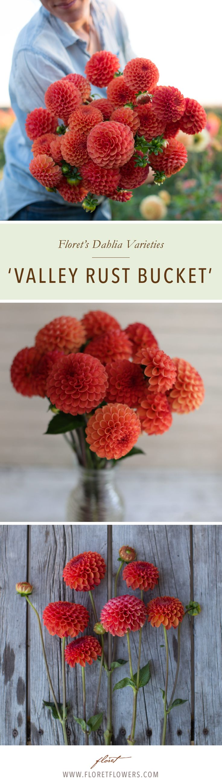 This spectacular dahlia was lovingly bred by Leone and David Smith and is a must grow. The 3 inch miniature ball shaped flowers of  'Valley Rust Bucket' are a deep rusty red-orange blend that is a favorite among our market customers and everyone who visits the garden. Tubers available from Floret.  #growfloret