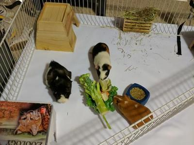 3 female guinea pigs for sale to a good home. Must stay together.  Includes cage, water bottle, hay bin, hut, toys, food dishes, hay, and pellets. Moving to an apartment that doesnt allow pets.