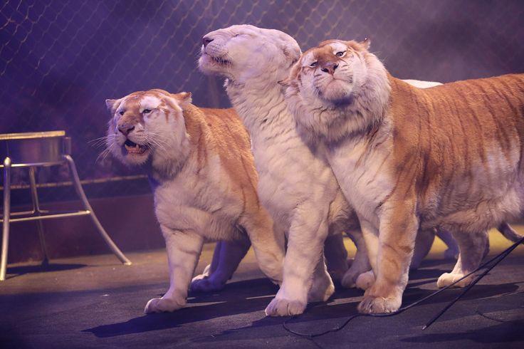 Les fauves d'Alfredo Beautour !   © Cirque d'Hiver Bouglione  Réservez vos places pour la Tournée : http://www.cirquedhiver.com/reservations/