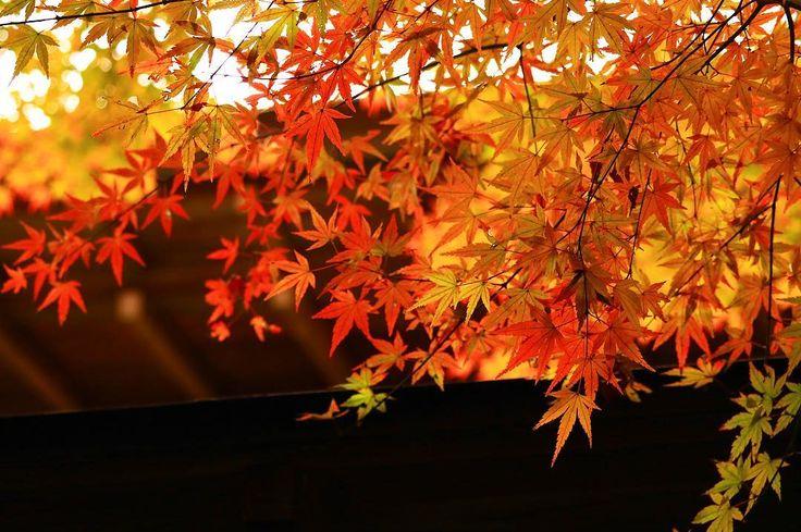 そろそろ、平林寺も終わり。 #平林寺#あなたに撮られたい東京 #カメラ女子#モミジ#秋 #綺麗#紅葉まつり#お寺#はなまっぷ紅葉2017#紅葉#1127 #flower_special_#reflection#beautiful#autumn #maple#autumncolors#Autumnleaves#tokyocameraclub #cannon#Lovers_Nippon#eoskissx8i#retrip_news #art_of_japan_#retrip_nippon#retrip_埼玉#wp_紅葉2017 #東京カメラ部#写真好きな人と繋がりたい #ファインダー越しの私の世界