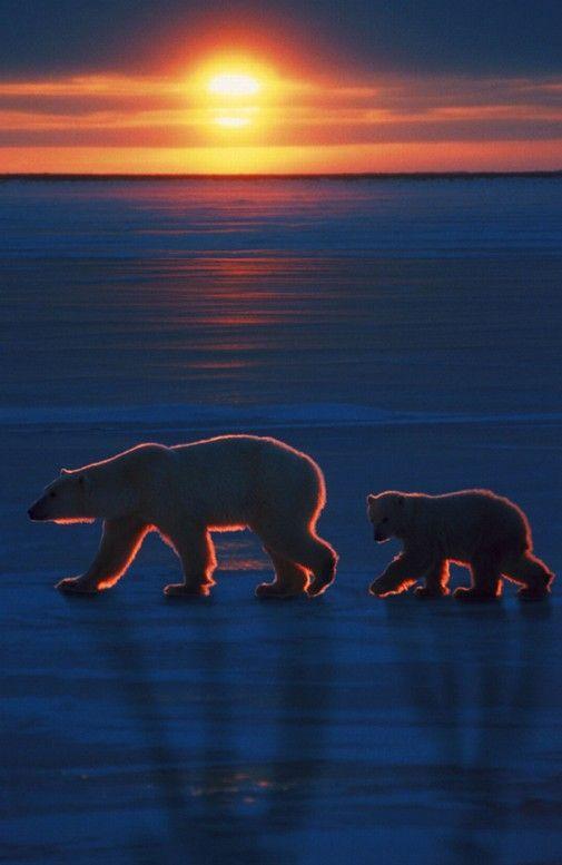 Polar bear sunset • photo: Ron Sanford / CORBIS Images