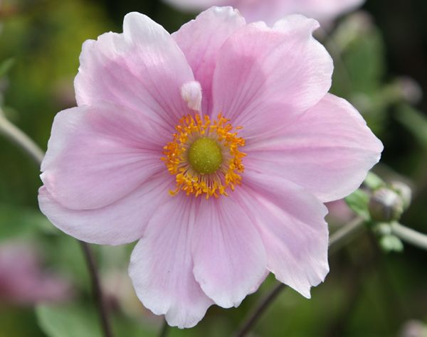 Best 501 cottage garden perennials images on pinterest anemone hybrida elegans japanese anemone the light purple pink flowers mightylinksfo