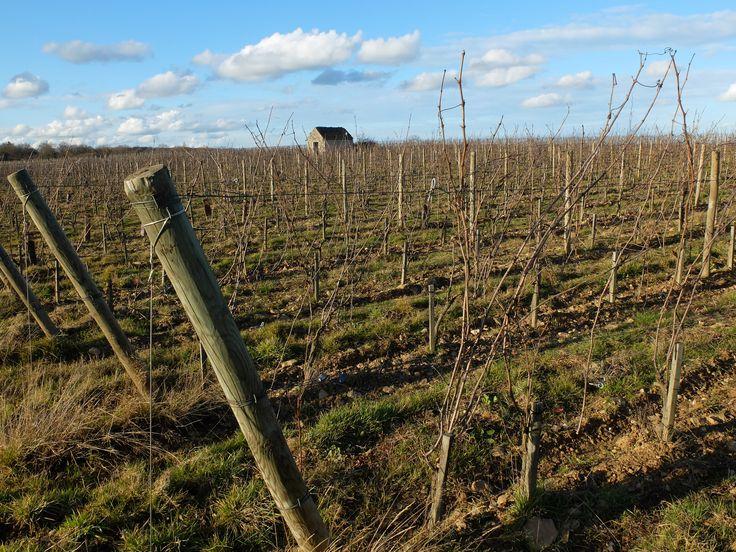 Les vignes à Epiré (10 km d'Angers).  Photo MNC
