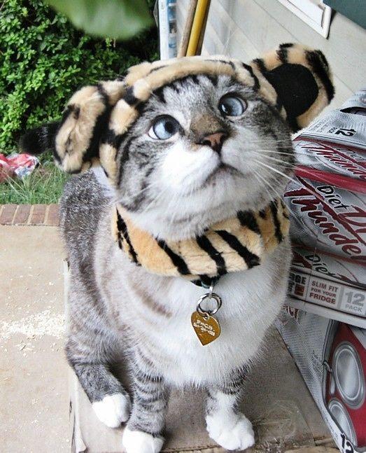 #забавный #кот #тигра