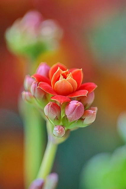 ♂ Orange red flowers ✿⊱╮#bokeh #flowers Happy New Year to All My Flickr Friends by million xu