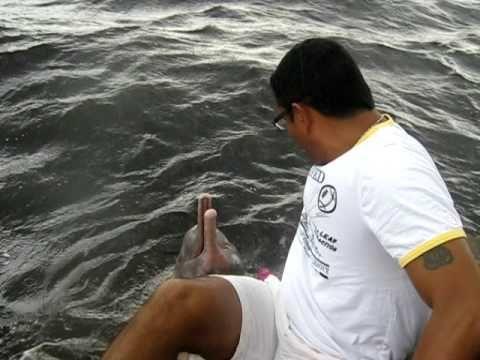 delfines rosados salvajes en el amazonas. Just watch as he feeds them.