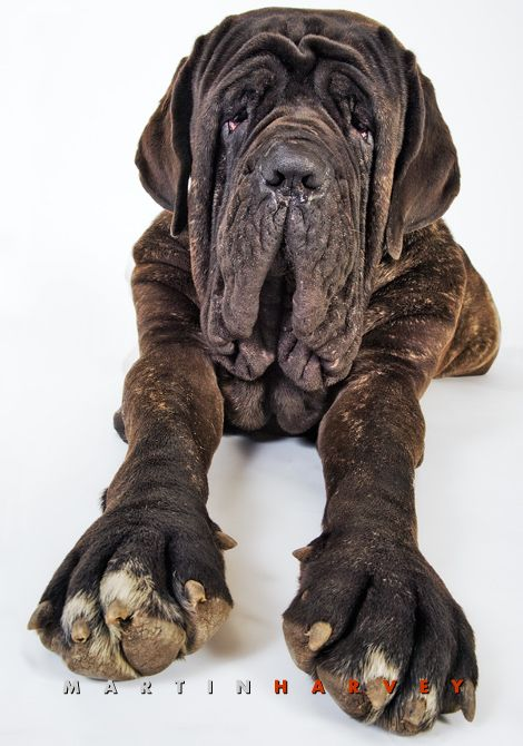 Neapolitan Mastiff dog by Martin Harvey Photography -
