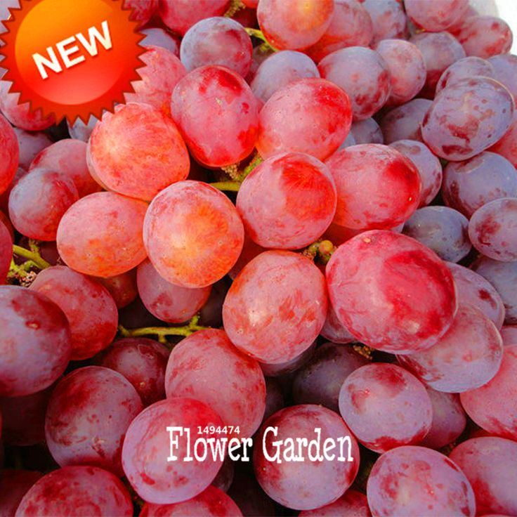 Loss Promotion!100 PCS/Bag Sweet Red Grape Seeds Advanced Fruit Seed Natural Growth Grape Gardening Fruit Plants,#75TA3O
