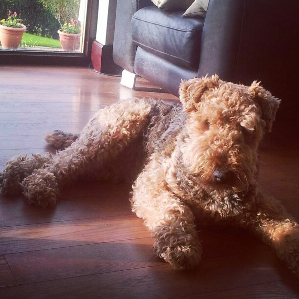 airedale terrier fluffy dog curly fur ginger hair doggy ...