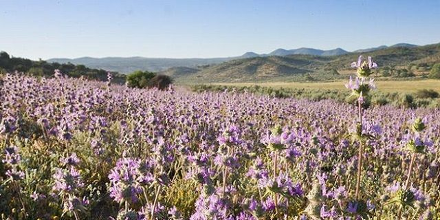 Nasiona Chia – lecznicza moc ukryta w małych nasionkach
