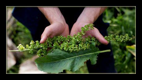 Ștevia este o plantă erbacee și perenă din familia Polygonaceae, originară de pe continentul european și răspândită în prezent în toate regiunile cu climă temperată ale Globului. Ea răsare primăvara, foarte devreme, de îndată ce temperaturile au sărit de 0 °C...