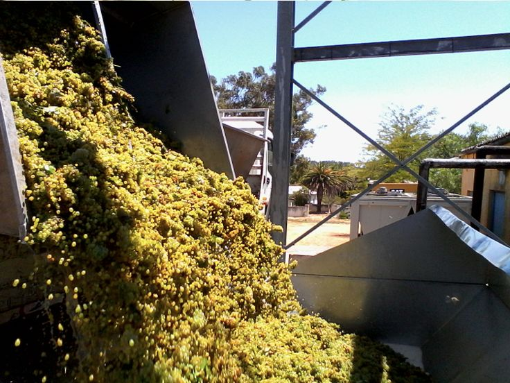 Our first load of Chenin Blanc for this year's harvest is in! #Harvest2015 #CheninBlanc #SpiceRouteWines #Swartland