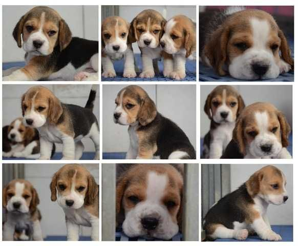 beagle puppies for sale FOR SALE ADOPTION from Kuala Lumpur @ Adpost