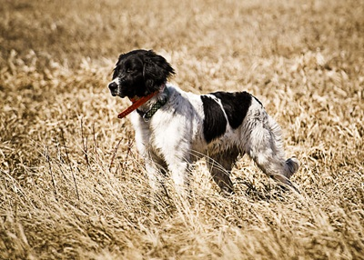 The Small Munsterlander is a descendant of Falconers' bird dogs who were trained to flush smaller upland game birds to be used as prey for the falcons. As a result, the modern Small Munsterlander is particularly adept at close searches and pointing.