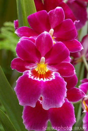~Pansy orchids (Miltoniopsis 'Red Tide')