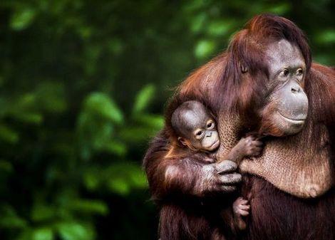 Baby orang-oetan voor het eerst naar buiten
