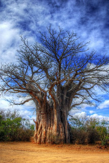 Boabab tree in Kruger National Park, South Africa. If you enjoy watching wildlife, this is arguably one of the greatest places on earth to do it. If you're new to watching wildlife then you've chosen well...   Read more: http://www.lonelyplanet.com/south-africa/mpumalanga/kruger-national-park#ixzz3Ot1Mk7wx