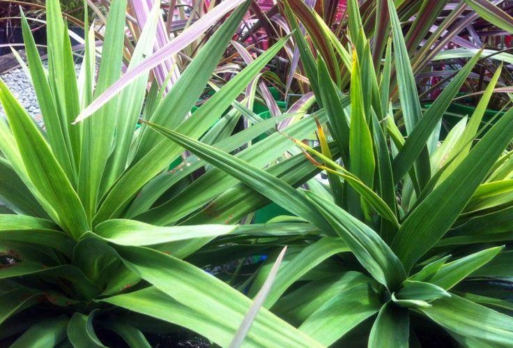 modern full sun plants   ... australis kirkii is a good ...