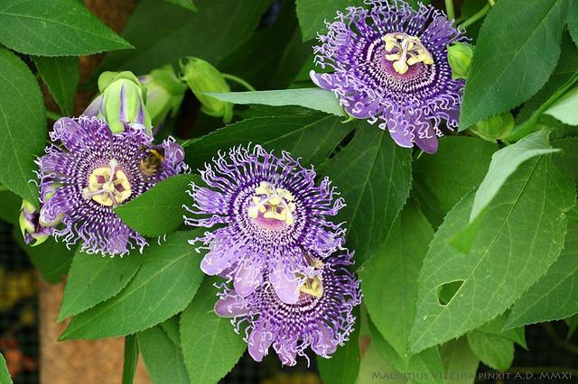 Passiflora Fata Confetto (Sugar Plum Fairy), via Flickr.  Zone 8 and up, perennial vine