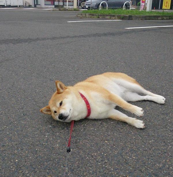 Shibas have like zero endurance
