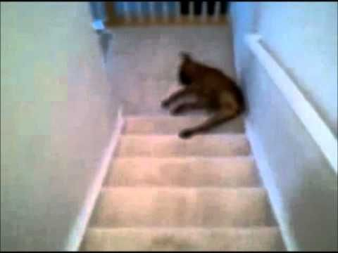 Funny Dog Videos - Boxer Does a Slider Down the Stairs