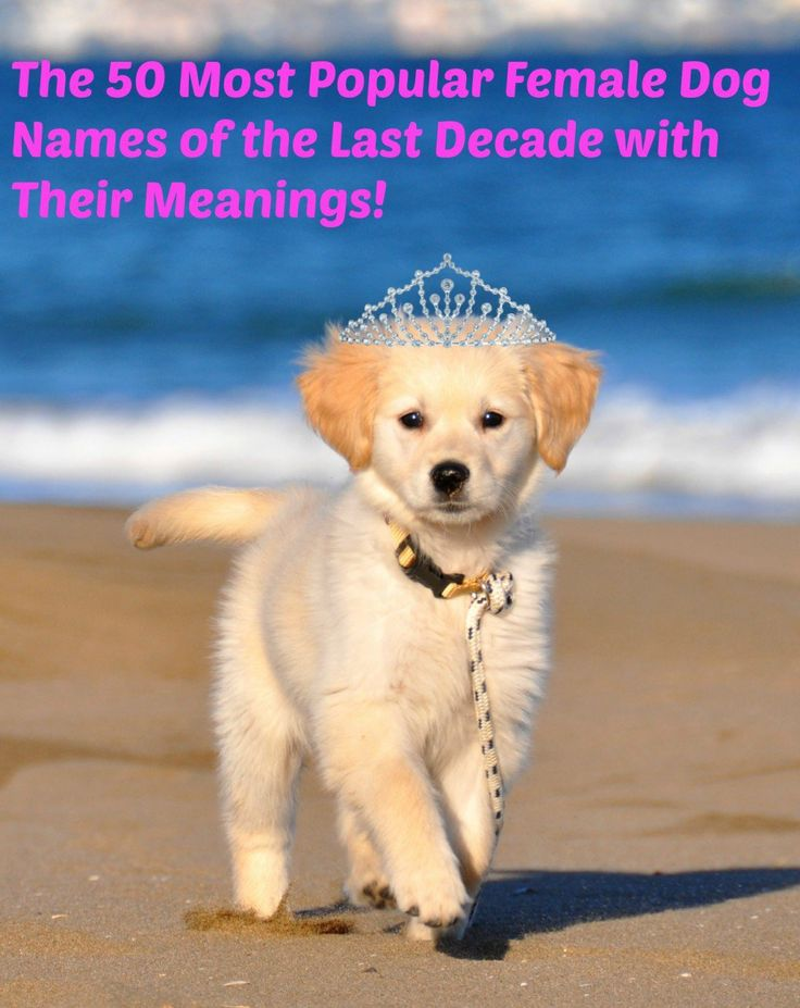 Learn the meanings of the 50 most popular female dog names of the last 10 years.  Names can come and go in popularity, but some are always in fashion.