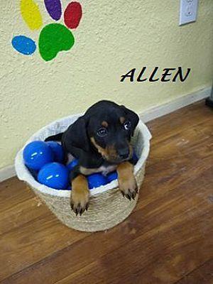 Mexia Tx Dachshund Meet Allen A Pet For Adoption Pet