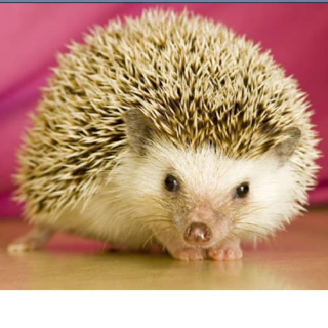 :): Albino Hedgehogs, Africans Hedgehogs, Pet Hedgehogs, Erizo Hedgehogs, Animal Hedgehogs, Amazing Animal, Hedges Hog, Pygmy Hedgehogs, Adorable Hedgehogs