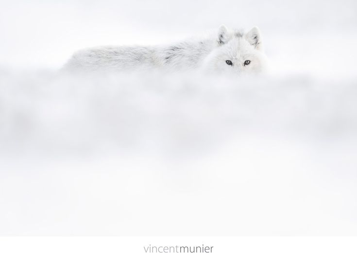 Sublime video de l'arctique par Vincent Munier - Photographer
