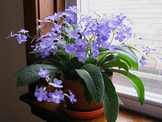 Falling Stars Streptocarpus Houseplants Pinterest Plants House And Flowers
