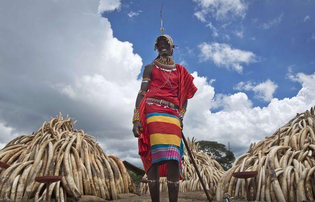 Braconnage: Le Kenya va incinérer 105 tonnes d'ivoire