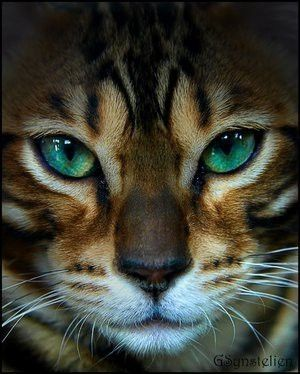 Both of my Bengals have these astonishing green eyes. In fact, they came from the breeder that bred the green eyes into the breed.
