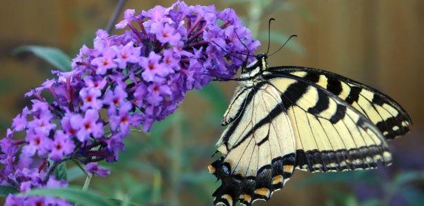 As borboletas vêm ao jardim em busca do néctar das flores e preferem as com perfume delicado. No entanto, para que esses insetos visitem seu jardim são necessárias também plantas hospedeiras, espécies que alimen