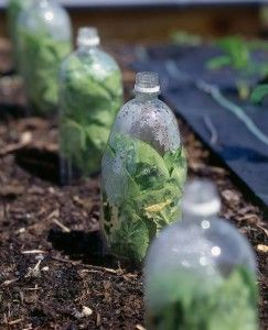 No need to worry about late frosts, simply use empty plastic bottles to make mini cloches. Cut the bottom off and place on top of the pot.