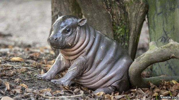 "Olivia is a new-born hippopotamus in Parken Zoo, Sweden. ""She is the cutest little fatty you can imagine,"""