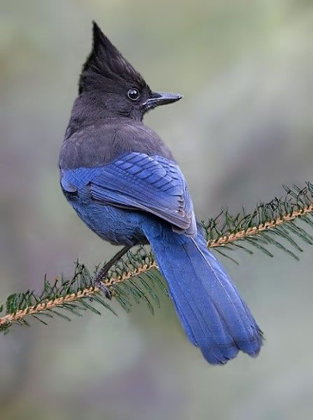 The Steller's Jay (Cyanocitta stelleri) is a jay native to western North