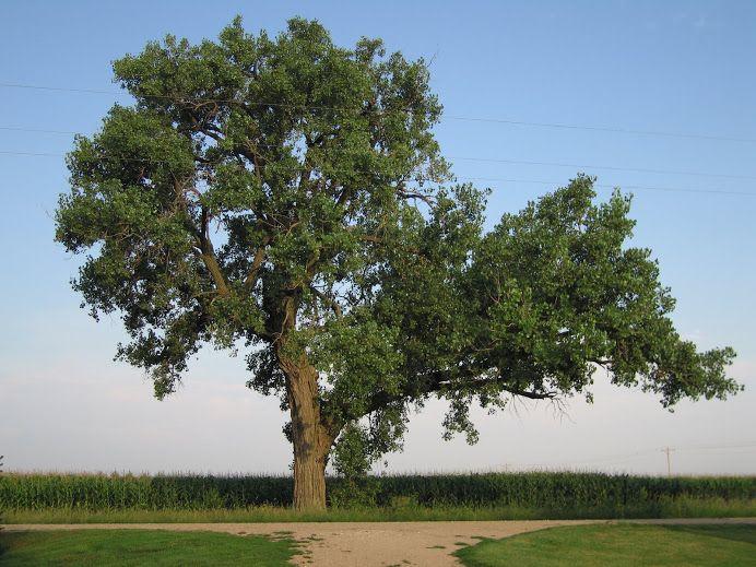 Kansas' State Tree ~ Cottonwood