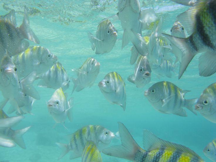 De gestreepte sergeant majoor, vissoort gefilmd op Curacao